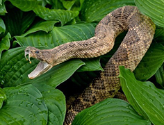 Snake venoms: from production to bioprospecting